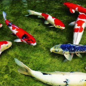cách lựa chọn cá koi của người nhật