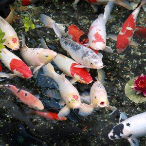 cách lựa chọn cá koi chuẩn đẹp